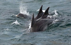Dolphins on Scottish cruise off Tobermory