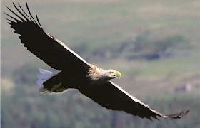 sea eagles are seen on our Mull cruises