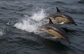 Dolphins in the Sound of Mull by Robert Murray