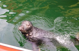 Sammy the seal in Stornoway Harbour by Robert Murray
