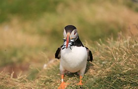 Puffin with full beak