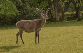 Red Deer in the grounds of Kinloch Castle, Muck