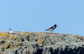 Tern and Oystercatcher